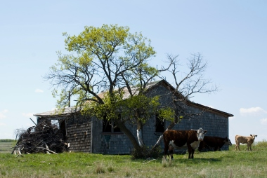 cows standing next to an abandoned house