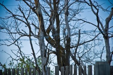 leafless trees and fence