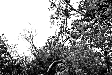 crooked trees