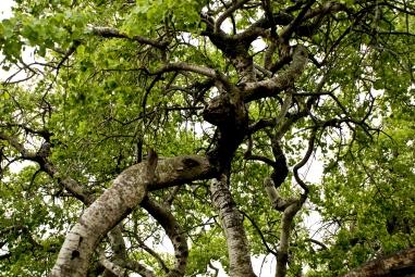 crooked aspen trees