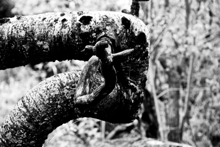 crooked aspen tree