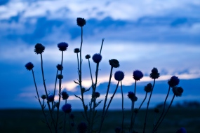 purple thistle at sunset