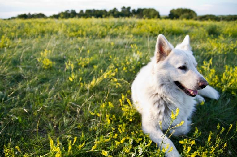 white german shepherd in yellow alfalfa