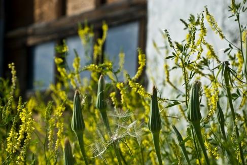 alfalfa and unopened dandelion globes