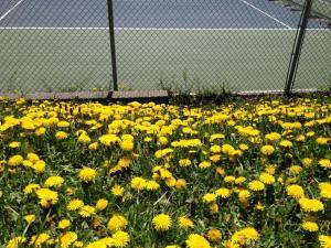 a lawn of dandelions
